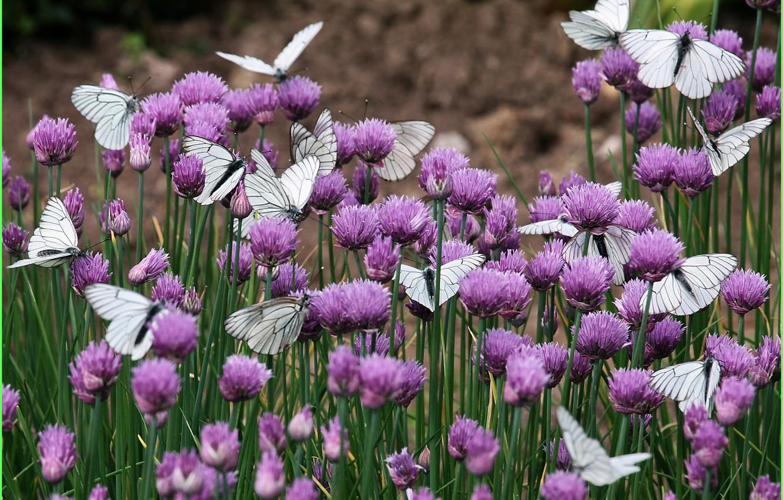 Фото обои бабочки, цветы, природа, клевер
