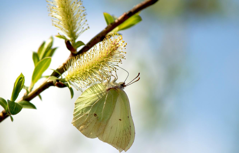 Фото обои листья, макро, природа, бабочка, весна, верба