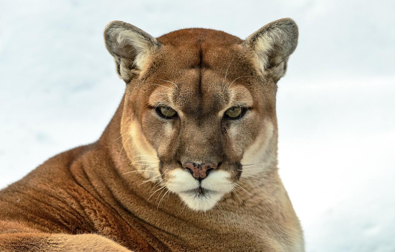 Фото обои взгляд, хищник, пума, дикая кошка, горный лев, кугуар