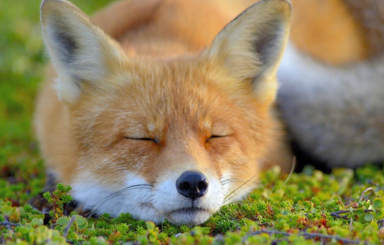 Обои морда, спит, лис. Лисы foto 6