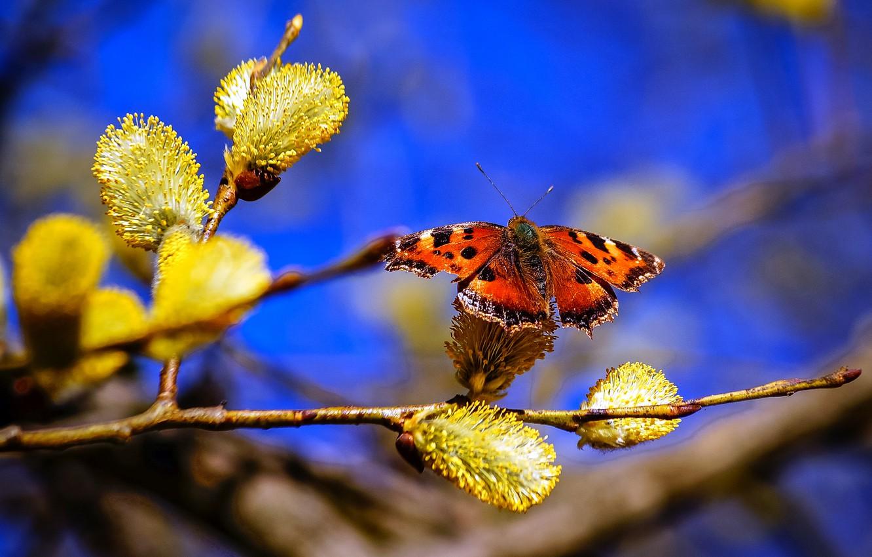 Фото обои небо, природа, бабочка, ветка, весна, верба