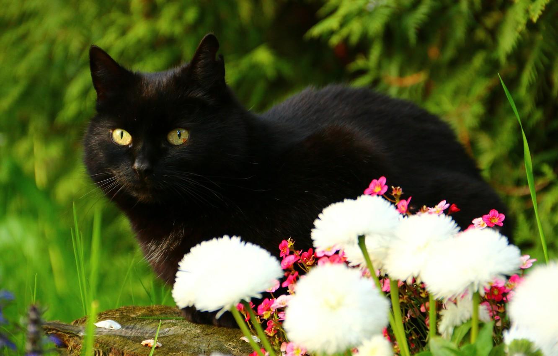 Фото обои кот, взгляд, цветы, чёрный кот