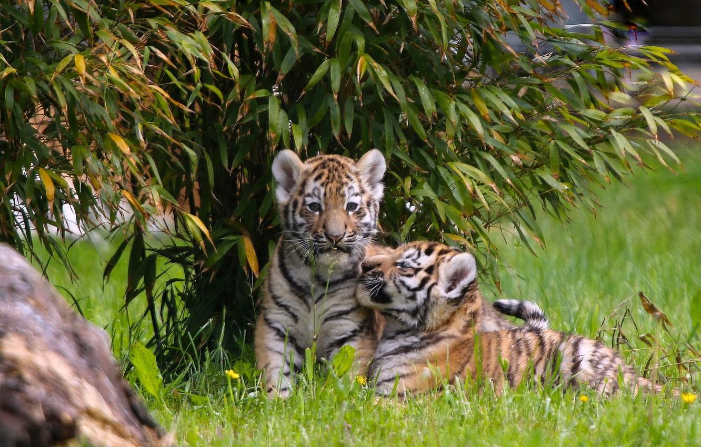 Фото обои котята, малыши, парочка, тигры, тигрята, двойняшки, детёныши