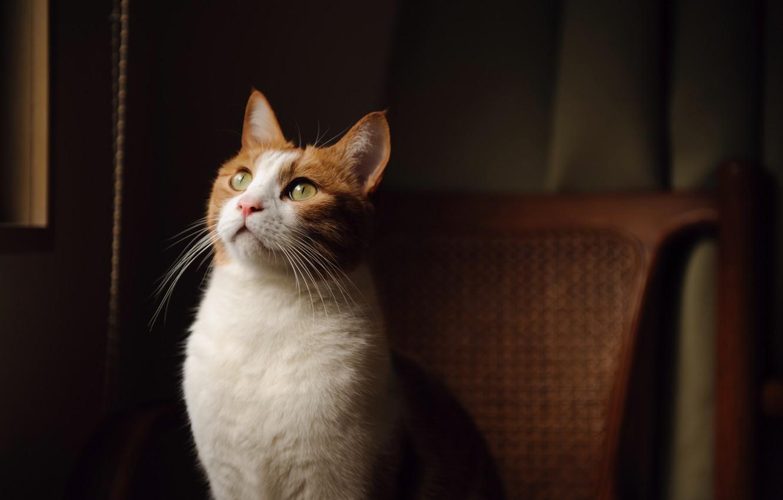 Фото обои взгляд, кресло, Кот, окрас, зеленые глаза, бело-рыжий