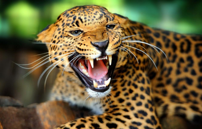 Обои морда, Хищник, угроза, дикая кошка, пасть, клыки, ссора, оскал, ярость, рык, Белый тигр, злость. Животные foto 7