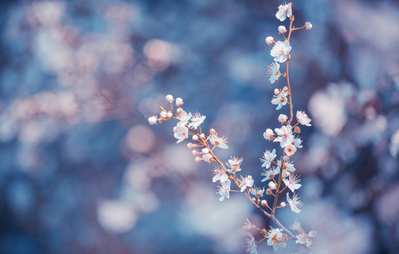 Фото обои макро, цветы, ветки, синий, фон, лепестки, Деревья, размытость, белые