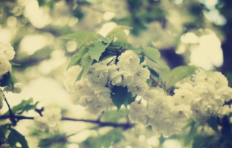 Фото обои листья, цветы, ветви, нежность, красота, весна, размытость, белые, цветение, боке
