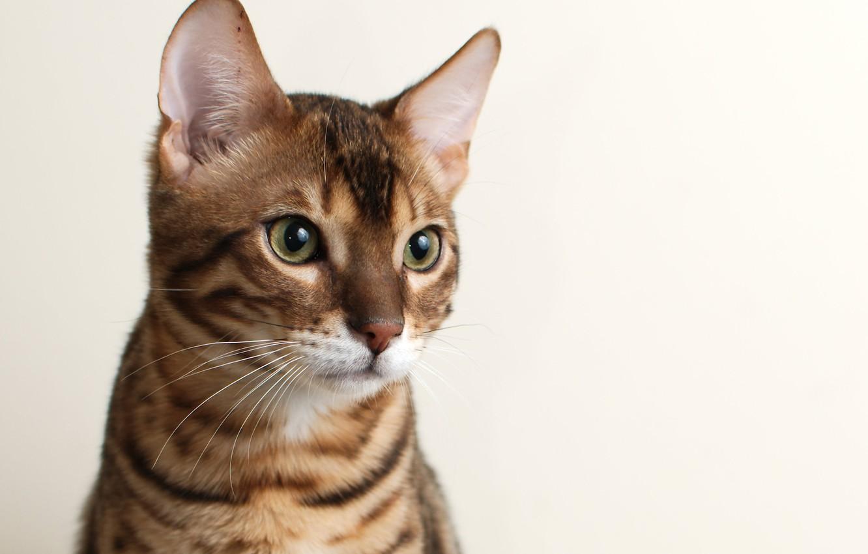 Фото обои кошка, кот, морда, фон, Бенгальский, Bengal