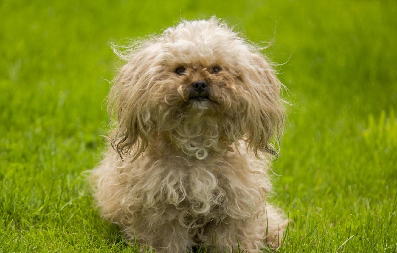 Картинки лохматых собак