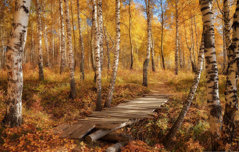 Фото обои осень, природа, берёзы