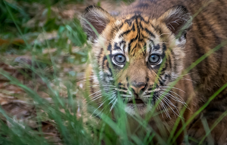Фото обои трава, взгляд, Тигр, малыш, мордочка, детёныш, охотник, тигрёнок, суматранский