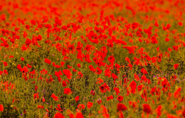 Фото обои поле, краски, маки, луг
