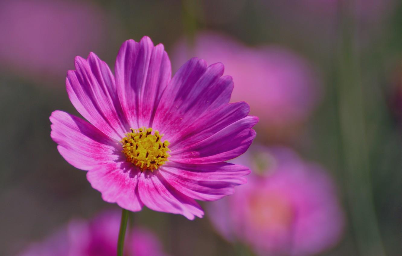 Фото обои макро, розовая, лепестки, размытость, Космея