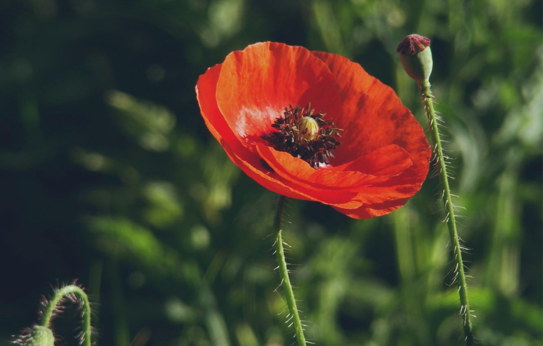Фото обои цветок, трава, макро, красный, размытость, Мак, бутоны, цветки