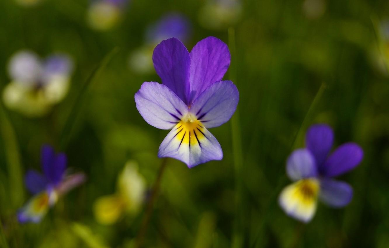 Фото обои цветок, лепестки, фиалка, Анютины глазки