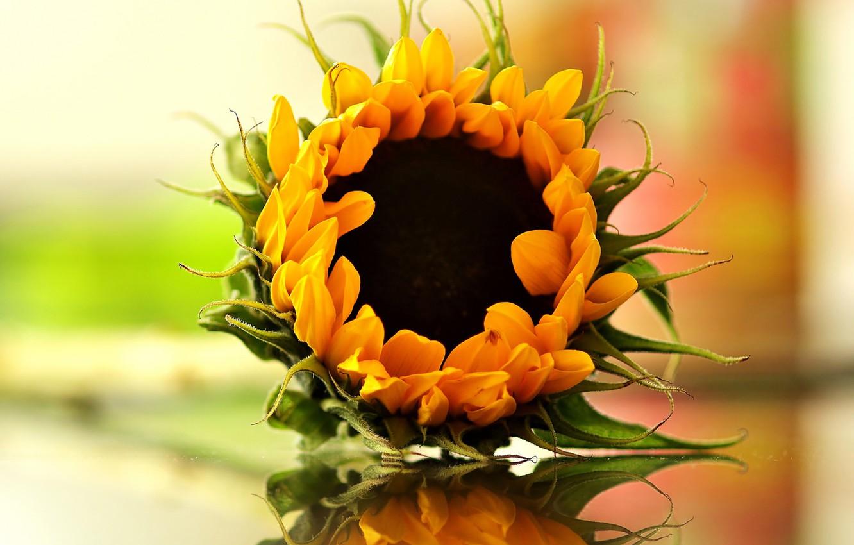 Фото обои bokeh, reflection, sunflower