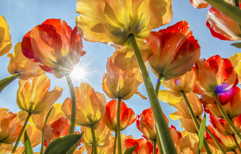 Картинки тюльпаны и солнце
