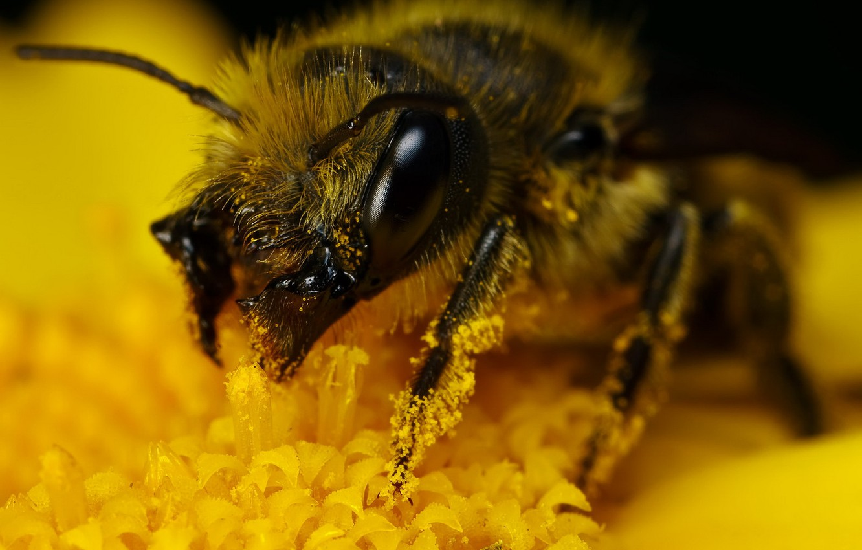 Фото обои желтый, пыльца, шмель
