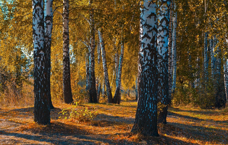 Фото обои осень, лес, листья, пейзаж, закат, природа, красота, березы