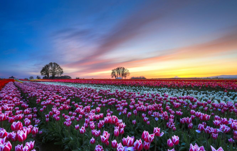 Фото обои небо, облака, деревья, закат, цветы, Поле, вечер, тюльпаны, разноцветные