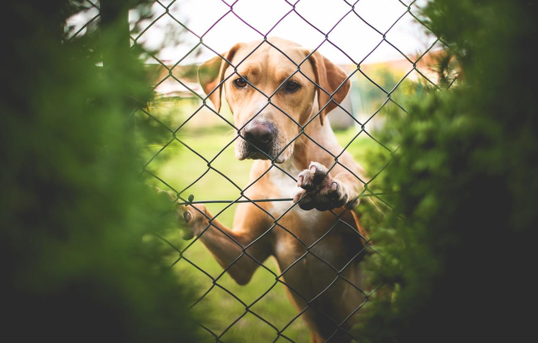 Фото обои сетка, забор, собака, лабрадор, смотрит