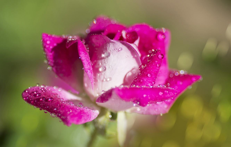 Фото обои капли, макро, фон, роза, лепестки, бутон, боке