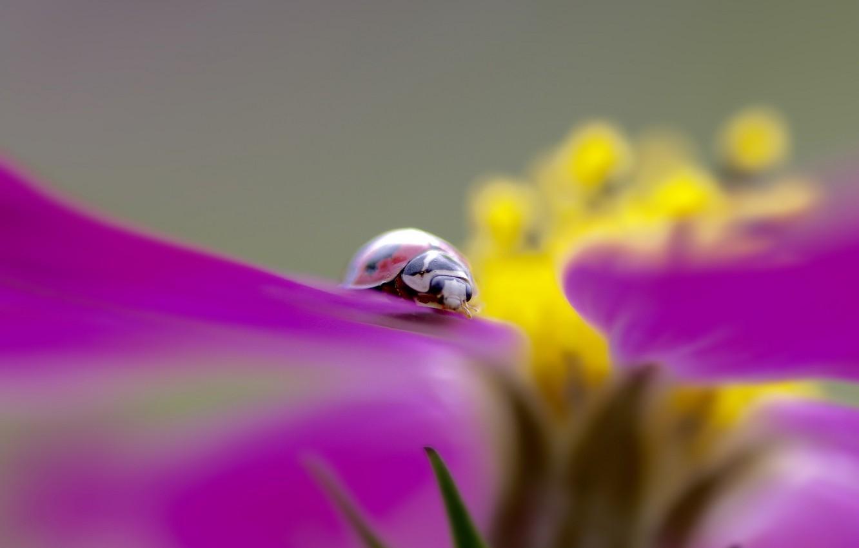 Фото обои цветок, растение, божья коровка, жук, лепестки, насекомое