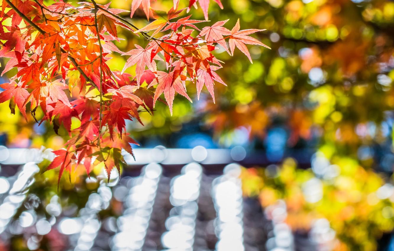 Фото обои осень, листья, макро, блики, дерево, фокус, размытость, Клен, красные