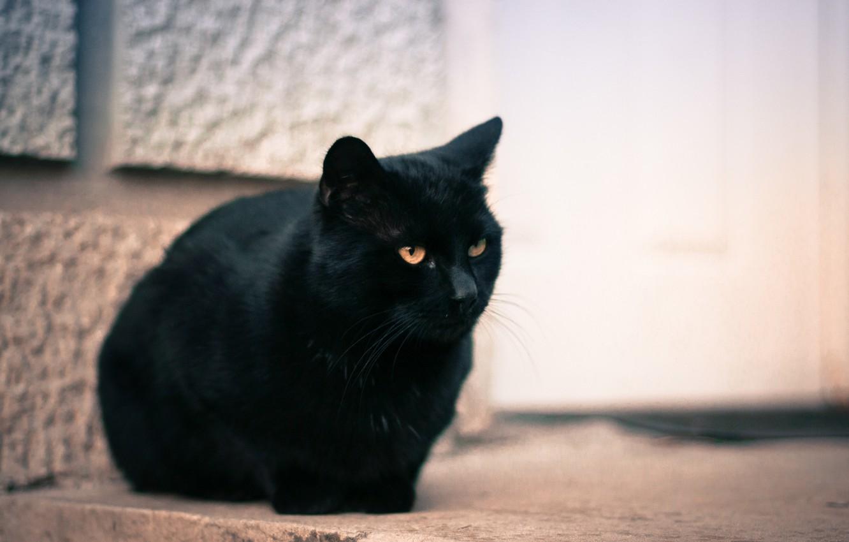 Фото обои кошка, глаза, кот, черный