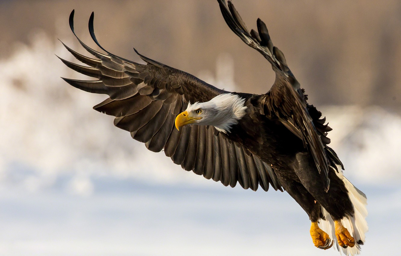 Фото обои птица, крылья, хищник, Белоголовый орлан