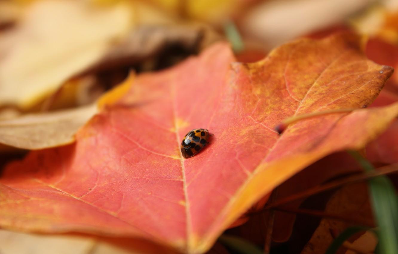 Фото обои лист, божья коровка, жук, насекомое, клен