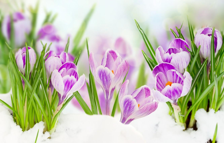 Фото обои листья, снег, цветы, весна, крокусы