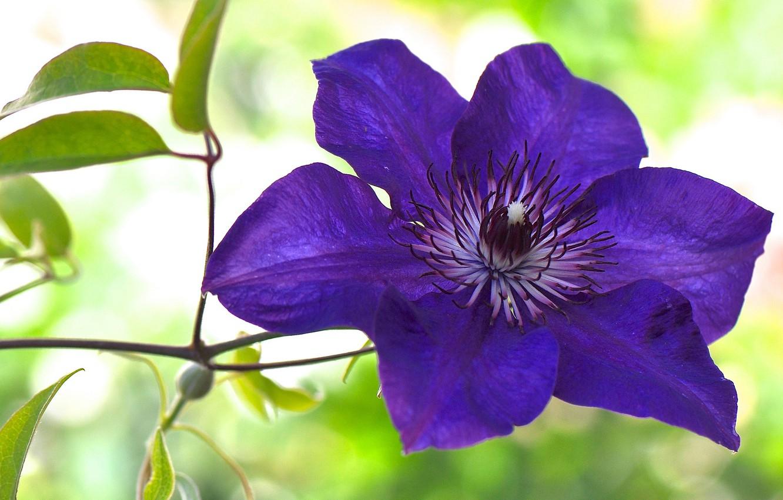 Обои Клематис, цветок. Разное foto 8
