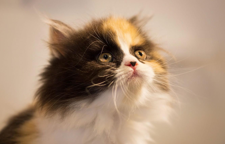 Фото обои взгляд, котенок, фон, мордочка