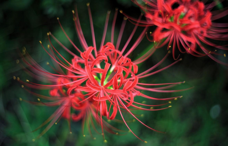 Фото обои макро, цветы, лепестки, красные, пестики