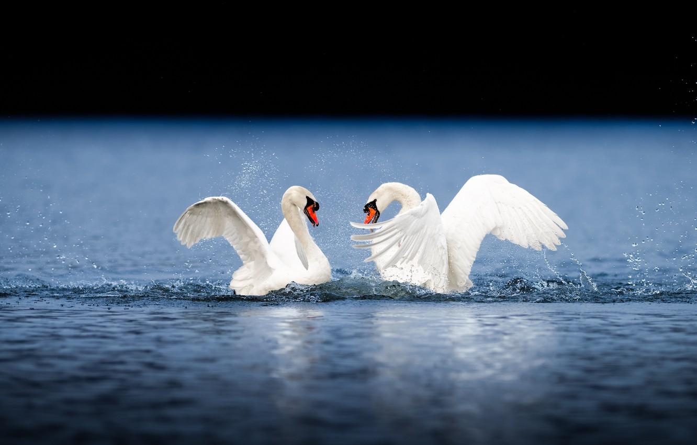 пара любящих лебедей в полете фото соседней теме увидел