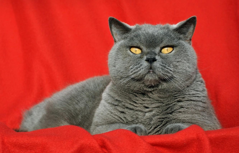 телевидение английские коты фотографии востребованных видов