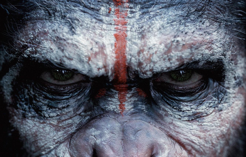 Фото обои взгляд, обезьяна, monkey, Цезарь, Caesar, шимпанзе, Планета обезьян: Революция, Dawn of the Planet of the …