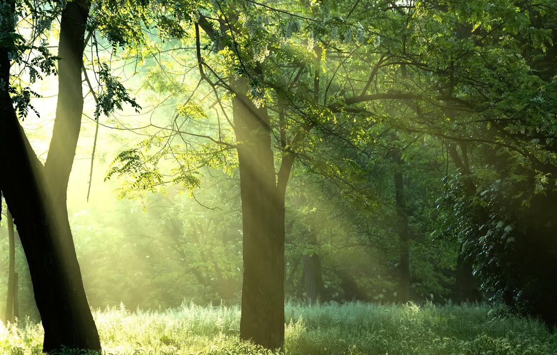 Фото обои лес, солнце, лучи, деревья, природа, sunshine, forest, Green trees