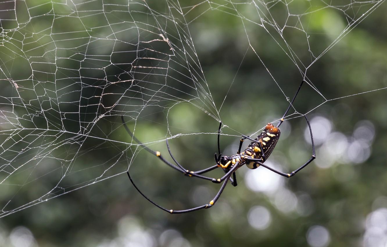 Фото обои паутина, паук, spider, боке, bokeh, web