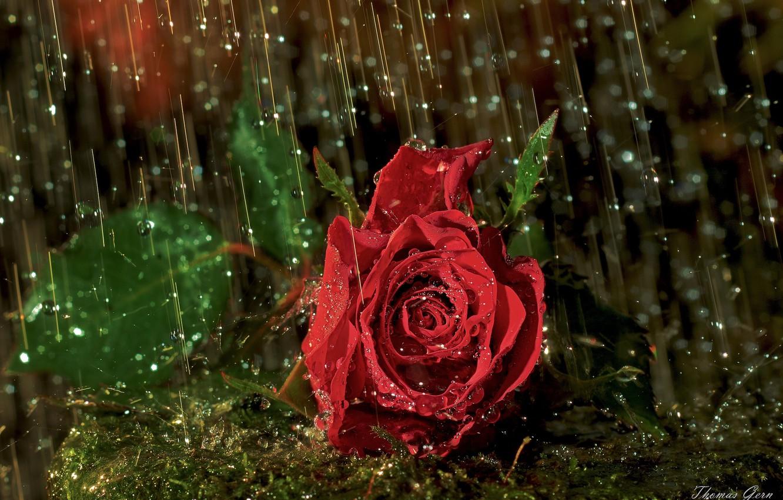 Фото обои капли, макро, дождь, роза, бутон