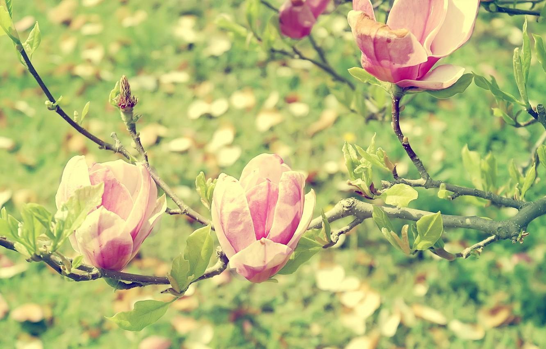 Фото обои свет, green, ветка, весна, сад, цветение, blossom, macro, blur, магнолия, для Литы