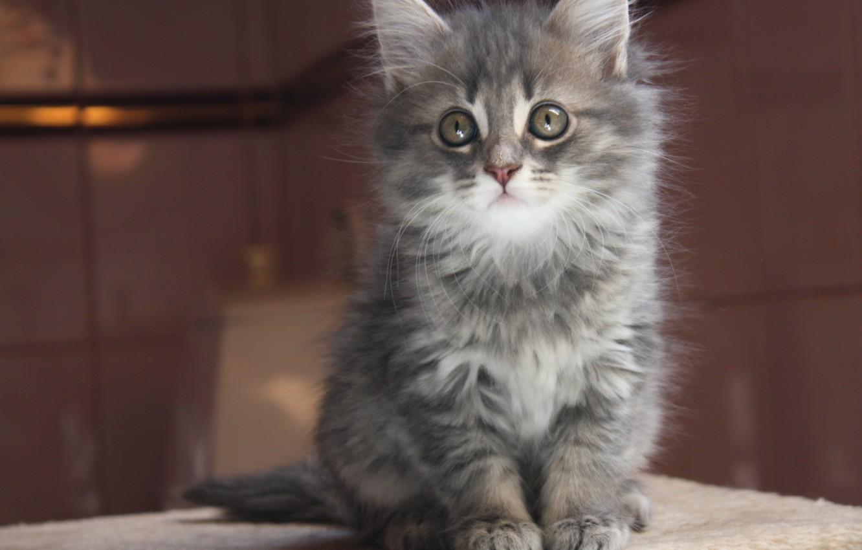 Фото обои взгляд, котенок, серый, Кот, мордочка, дымчатый