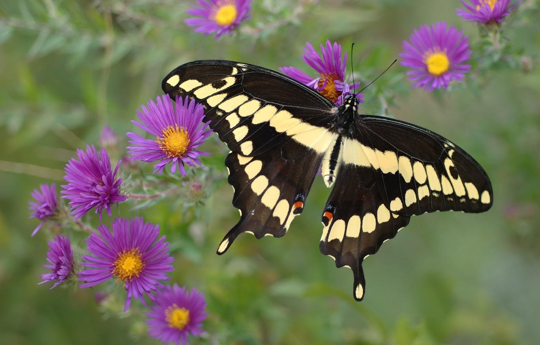 Фото обои фиолетовый, цветы, желтый, черный, Бабочка