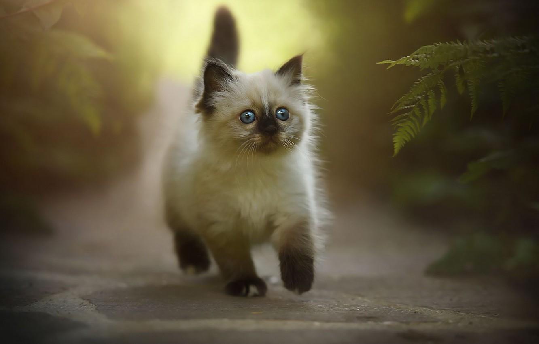 Обои котёнок, прогулка, пушистый. Кошки foto 8