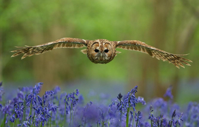 Фото обои лес, взгляд, цветы, птица, поляна, крылья, Сова, размытость, полёт, колокольчики, синие, взмах