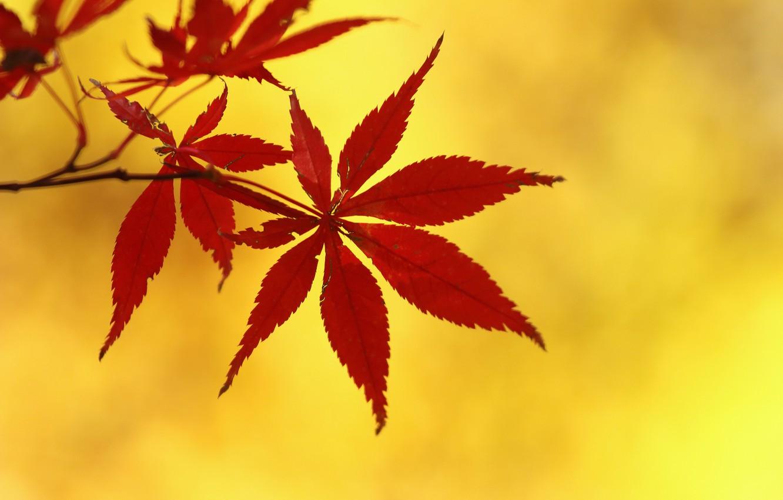 Фото обои осень, листья, ветка, клен