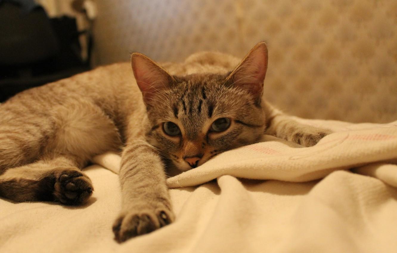 Картинка кошки на диване