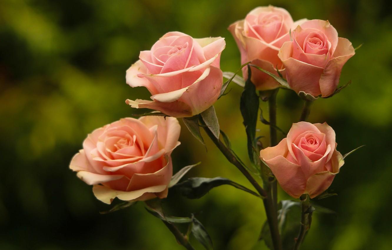 Фото обои фон, розы, бутоны