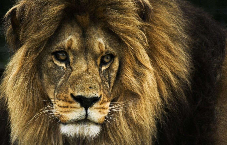 Фото обои лев, царь зверей, Lion